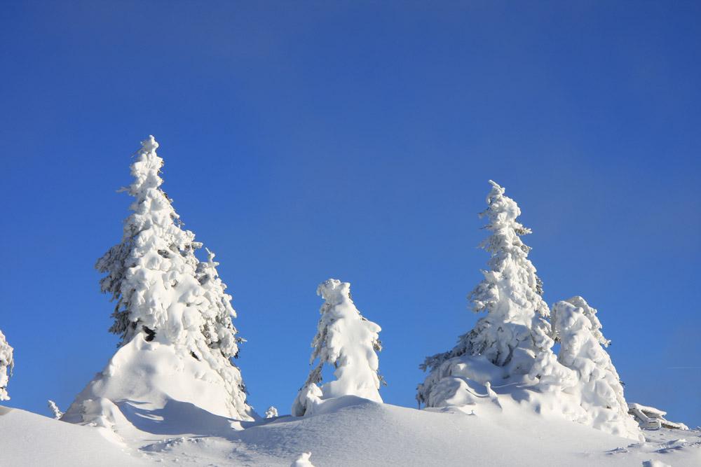 Bäume mit Schnee im Harz